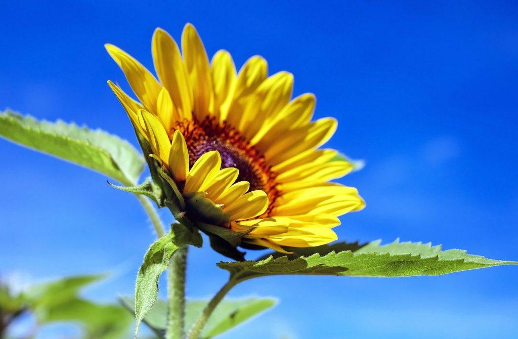 Sunflower Flower Plant Petals  - Couleur / Pixabay