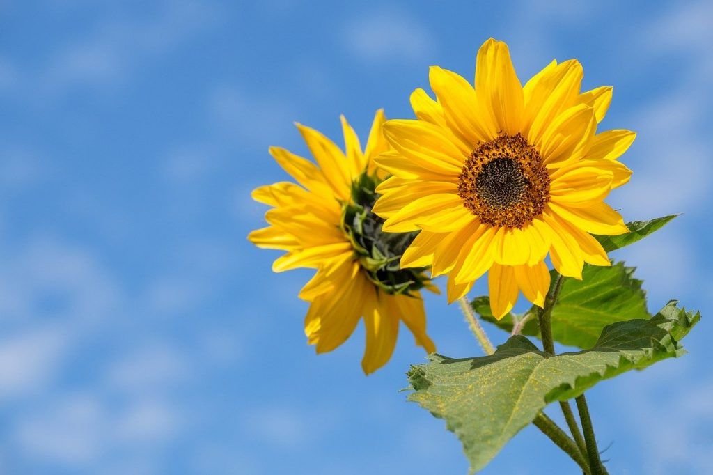 Sunflower Flower Summer Blossom  - Bru-nO / Pixabay
