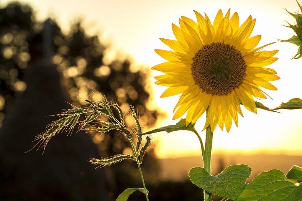 Sunflower Summer Yellow Nature  - mploscar / Pixabay