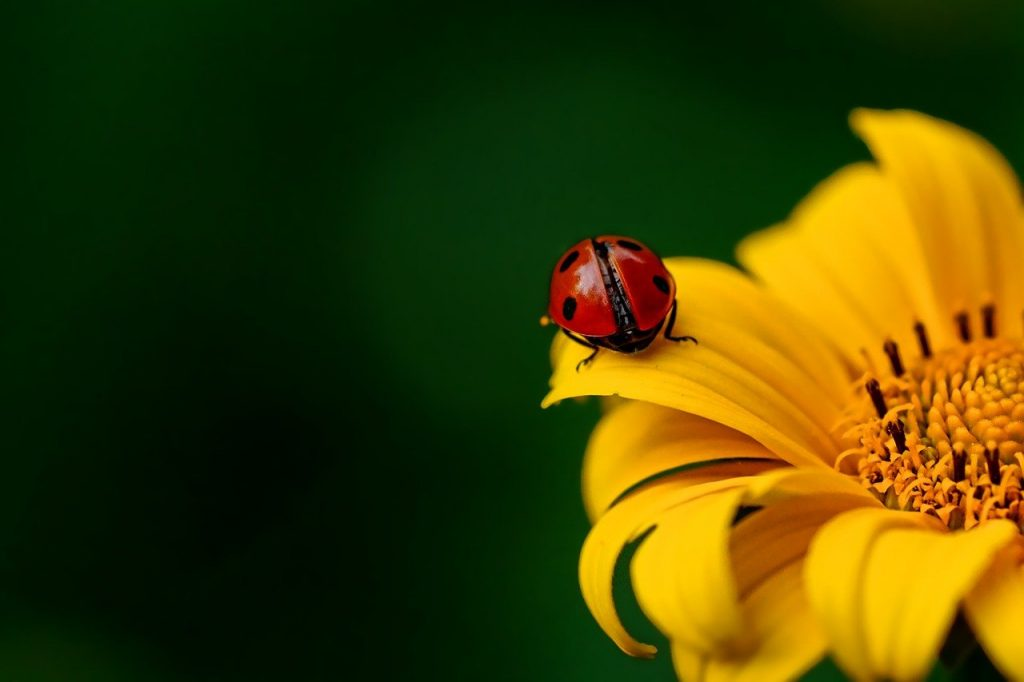 Ladybug Insect Beetle Nature  - Schwoaze / Pixabay
